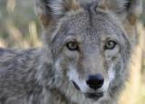 coyote at pocatello zoo small _DSC1749.jpg