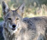 coyote at pocatello zoo small _DSC1753.jpg