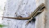 Wild Lizard at Home _DSC1605.JPG