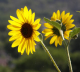 Sunflowers on Red Hill P8040146.jpg