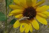 grasshopper on sunflower P1040167.jpg