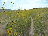 City Creek bike trail with sunflowers P1040111.jpg