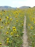 city creek bike trail with sunflowers P1040117.JPG