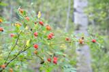 rose fruits on east mink trail pocatello scout mountain _DSC3738.jpg