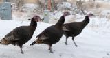 Wild Turkeys smallfile P1040335.jpg