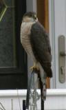 Hawk at bird feeder post PC140160.jpg