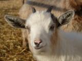Goat at McKees Pocatello P1040271.jpg