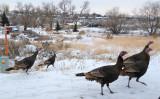 Wild Turkeys on Pocatello Creek Road smallfile P1040336.jpg