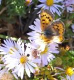 butterfly on fleabane DSCF5963.jpg