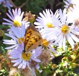 Butterfly on Fleabane DSCF5971.jpg