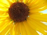 sunflower DSCF5892.jpg