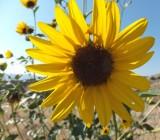 sunflowers DSCF5887.jpg