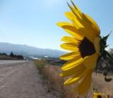 sunflowers DSCF5901.jpg