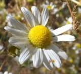 wild daisy DSCF5978.jpg