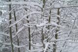 Mountain Aspen in Winter DSCF0108.JPG