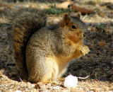 Chunky ISU College of Engineering Fox Squirrel P2190044.jpg