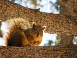 ISU College of Engineering Fox Squirrel P2190051.jpg