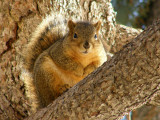 ISU College of Engineering Fox Squirrel P2190066.jpg