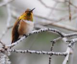 Rufous Hummingbird _DSC3024.jpg