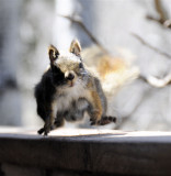 Red Squirrel - Pregnant and on the Move _DSC3250.jpg
