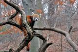 Bronx Zoo: Red Panda
