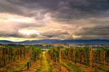 Sunset on the vineyard ~