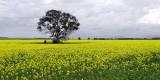 Canola field - Anakie, Victoria