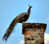 Peacock on chimney