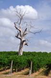 Dead tree in the vineyard