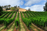 Vineyard on the hill ~