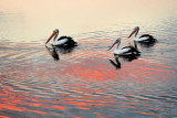 Pelicans on the lake ~