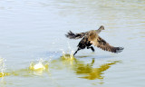 Duck take off ~