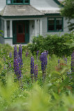Lupine grew all over people's lawns