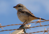 Picanço-barreteiro // Woodchat Shrike (Lanius senator subsp. senator), juvenile