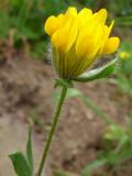 Albaida ou Patinha-de-osga (Anthyllis lotoides)