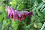 Ervilhaca-vermelha // Reddish Tufted Vetch (Vicia benghalensis)