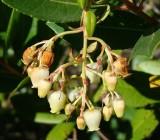 Flores do Medronheiro // Strawberry Tree with Flowers (Arbutus unedo)