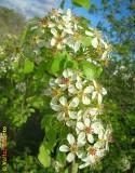 Flores da Pereira-brava ou Catapereiro (Pyrus bourgaeana)