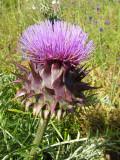 Alcachofra-brava (Cynara humilis)