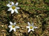 Nosilhas (Romulea bulbocodium)