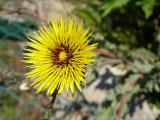 Flor do campo // Wild Flower (Reichardia gaditana)