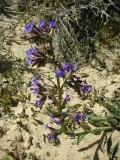 Buglossa-calcária (Anchusa calcarea)