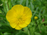 Campaínhas-de-ouro // Creeping Buttercup (Ranunculus repens)