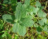 Mentrasto // Mint (Mentha suaveolens)
