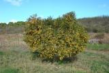 Tangerineira // Tangerine Tree (Citrus reticulata)