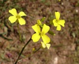 Labrêsto-de-flor-amarela (Brassica barrelieri)