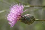 MantissaIca-de-salamanca // Dagger Flower (Mantisalca salmantica)