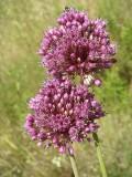 Porro-bravo // Broadleaf Wild Leek (Allium ampeloprasum)
