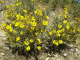 Sargaça-das-areias // Rockrose (Halimium halimifolium)