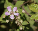 Flor da Silva // Elmleaf Blackberry (Rubus ulmifolius)